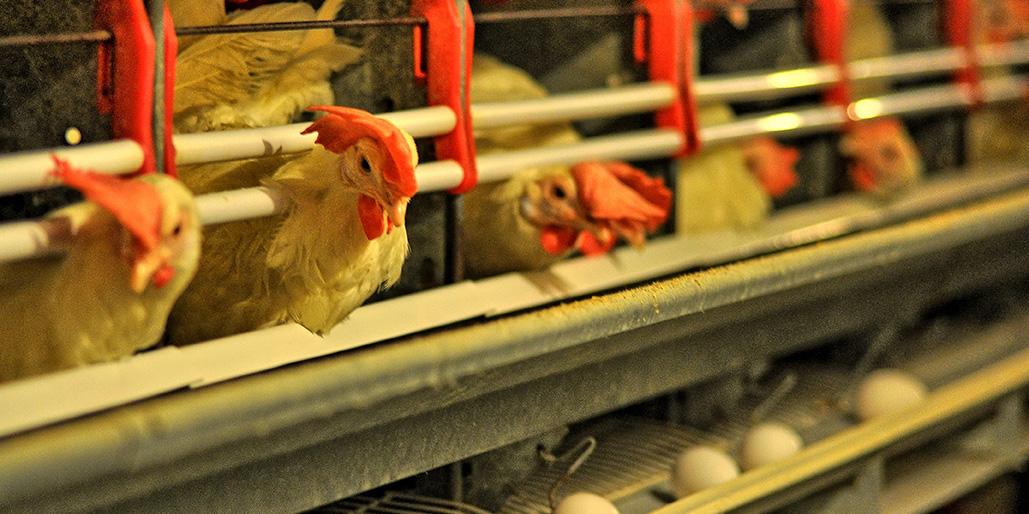 Équipe expérimentée du secteur avicole - Avantis Coopérative
