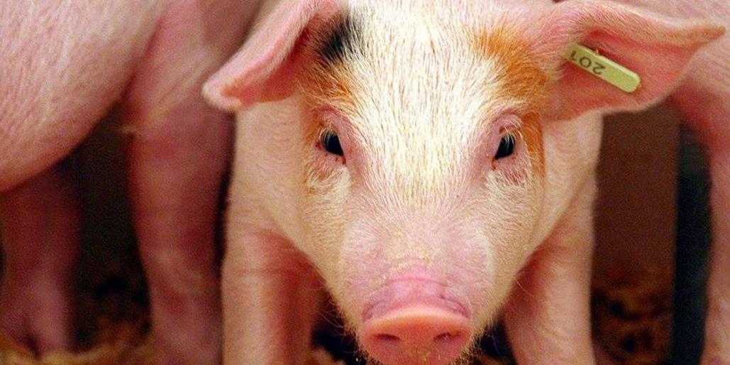 Produits et services du secteur porcin - Avantis Coopérative